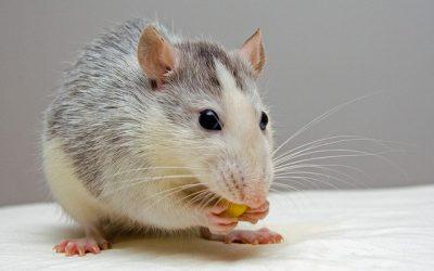 Kom rotterne til livs én gang for alle
